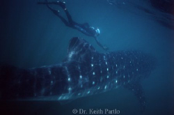 Whale shark Holbox Yucatan  Mexico snorkelling 30 miles o... by Keith Partlo 